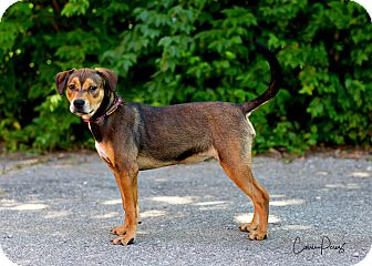Beagle/Rottweiler Mix Dog for adoption in Cape Girardeau, Missouri - Betsy