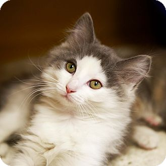 Domestic Mediumhair Kitten for adoption in Kettering, Ohio - Bounce