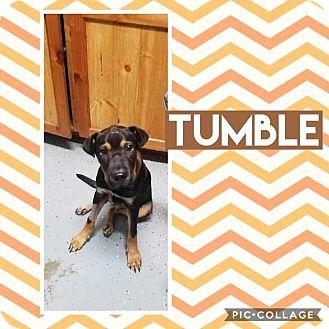 Shar Pei/Shepherd (Unknown Type) Mix Puppy for adoption in Mesa, Arizona - TUMBLE