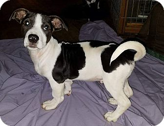 Basset Hound/Jack Russell Terrier Mix Puppy for adoption in Plymouth, New Hampshire - Schroeder