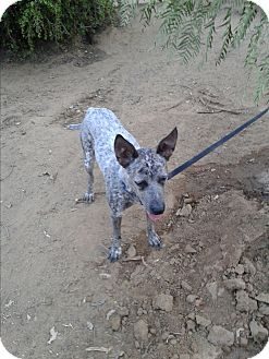 Australian Cattle Dog Dog for adoption in Los Angeles, California - Jazzy the wonder dog