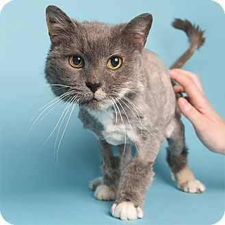 Domestic Shorthair Cat for adoption in Wilmington, Delaware - Spring