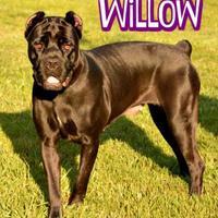 Adopt A Pet :: Willow - Sarasota, FL