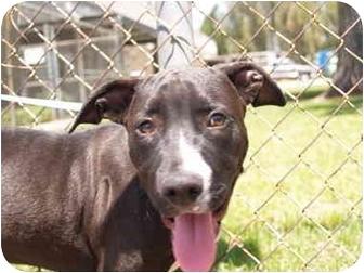 Pit Bull Terrier Mix Dog for adoption in El Cajon, California - Angel