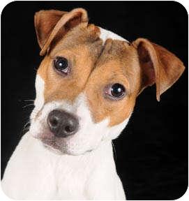 Hound (Unknown Type)/Terrier (Unknown Type, Medium) Mix Puppy for adoption in Chicago, Illinois - Greta