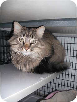 Maine Coon Cat for adoption in Rock Springs, Wyoming - Presence