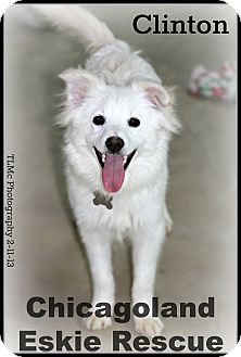 American Eskimo Dog Puppy for adoption in Elmhurst, Illinois - Clinton