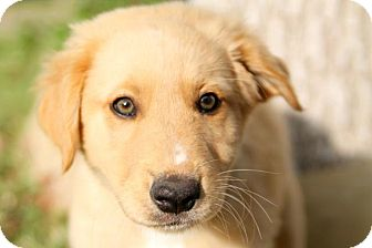 Golden Retriever/Labrador Retriever Mix Puppy for adoption in Austin, Texas - Heracles