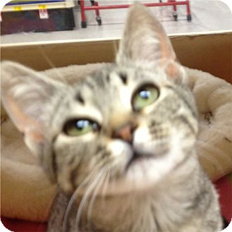 Domestic Shorthair Cat for adoption in Weatherford, Texas - Trixie