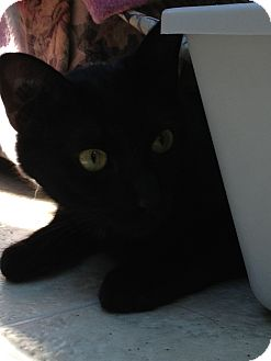 Domestic Shorthair Cat for adoption in Maple Ridge, British Columbia - Oliver