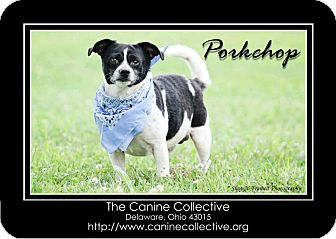 Chihuahua Mix Dog for adoption in Delaware, Ohio - Pork Chop Bob (aka PC Bob)