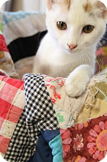 Domestic Shorthair Kitten for adoption in Chattanooga, Tennessee - Blanche