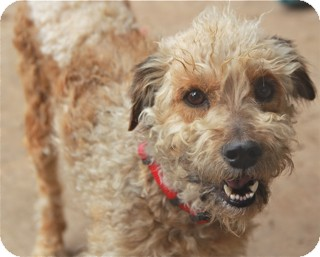 Poodle (Miniature)/Wheaten Terrier Mix Dog for adoption in Norwalk, Connecticut - Ellie May