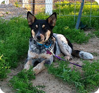 Australian Cattle Dog Mix Puppy for adoption in Phoenix, Arizona - Dakota