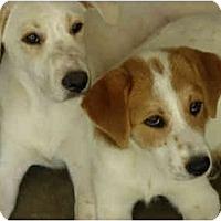 Adopt A Pet :: Spanky - New Boston, NH