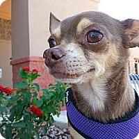 Adopt A Pet :: Hazelnut - Gilbert, AZ