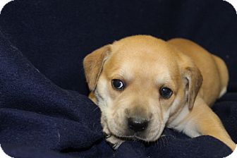English Bulldog Mix Puppy for adoption in Waldorf, Maryland - Pongo