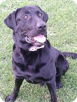 Labrador Retriever Dog for adoption in New Windsor, New York - MASON