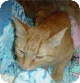Domestic Shorthair Cat for adoption in Walker, Michigan - Jasmine