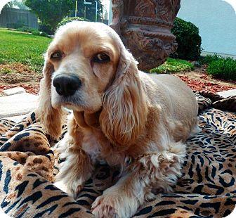 Cocker Spaniel Dog for adoption in Santa Barbara, California - GOLDIE ANNE