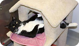 Domestic Shorthair Cat for adoption in Medfield, Massachusetts - Triton