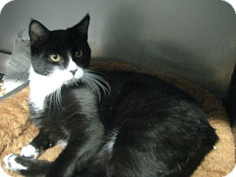 Domestic Shorthair Cat for adoption in Voorhees, New Jersey - Neptune