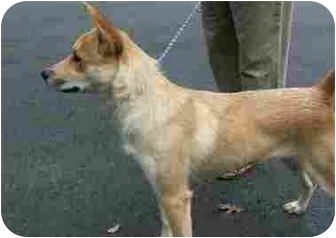 Basenji/Cattle Dog Mix Dog for adoption in Dahlonega, Georgia - Charo
