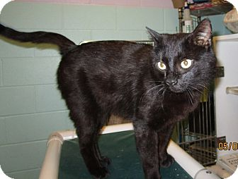 Domestic Shorthair Cat for adoption in Warrenton, North Carolina - Fudge