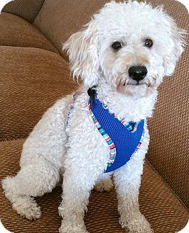 Poodle (Miniature) Mix Dog for adoption in Phoenix, Arizona - De NIro