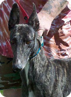 Greyhound Dog for adoption in Randleman, North Carolina - Teli