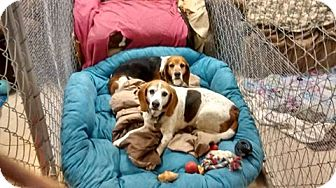 Beagle Mix Dog for adoption in richmond, Virginia - Hoo