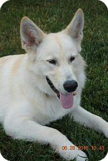 Alaskan Malamute/Husky Mix Puppy for adoption in Marlton, New Jersey - Milo