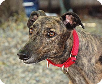 Greyhound Dog for adoption in Ware, Massachusetts - Breaser