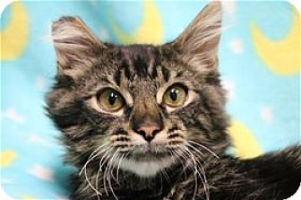 Domestic Longhair Cat for adoption in Lincoln, California - Deuce