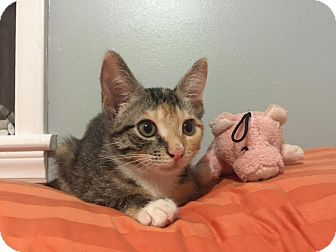 Domestic Shorthair Kitten for adoption in Concord, North Carolina - Ginger
