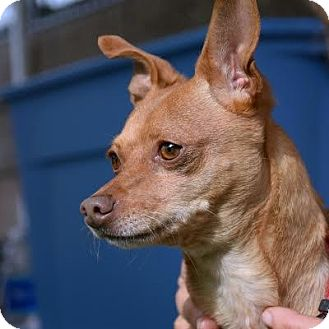 Chihuahua Mix Dog for adoption in Denver, Colorado - Kemah
