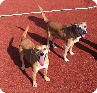 Labrador Retriever Mix Dog for adoption in Carlsbad, California - Lucille and Ricky