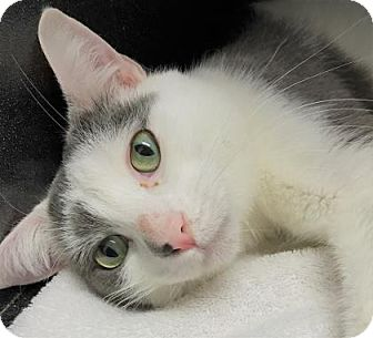 Domestic Shorthair Cat for adoption in Monroe, Michigan - Jesse