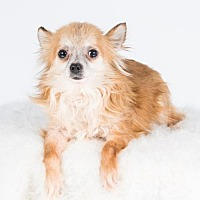 Chihuahua Dog for adoption in St. Louis Park, Minnesota - Santana