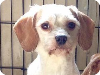Bichon Frise/Miniature Schnauzer Mix Dog for adoption in Coudersport, Pennsylvania - Norman