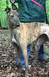 Greyhound Dog for adoption in Gerrardstown, West Virginia - Cayenne Whoopi