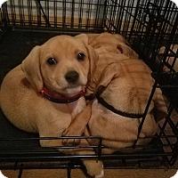 Beagle Mix Puppy for adoption in Wilmington, Delaware - Rizzo