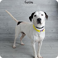 Adopt A Pet :: Carlos - Denver, CO