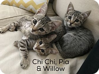 Domestic Shorthair Kitten for adoption in Los Angeles, California - Willow