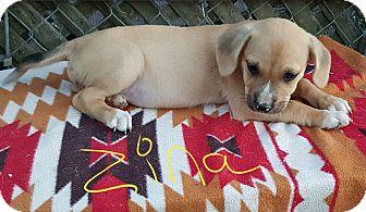Boxer/Golden Retriever Mix Puppy for adoption in Twinsburg, Ohio - Zina