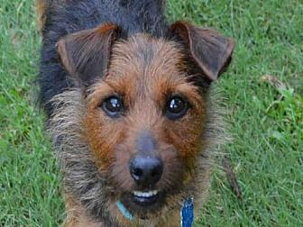 Yorkie, Yorkshire Terrier/Norwich Terrier Mix Dog for adoption in Plano, Texas - ROCCO