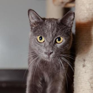Domestic Shorthair/Domestic Shorthair Mix Cat for adoption in Mission Hills, California - Bolt