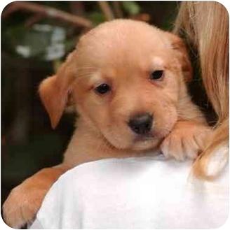 Dachshund Mix Puppy for adoption in El Segundo, California - Levi