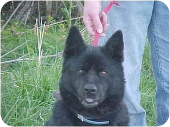 Retriever (Unknown Type)/Chow Chow Mix Dog for adoption in LaGrange, Kentucky - Bear