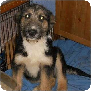 Bearded Collie/German Shepherd Dog Mix Puppy for adoption in all of, Connecticut - Sheepdogs-1 left!